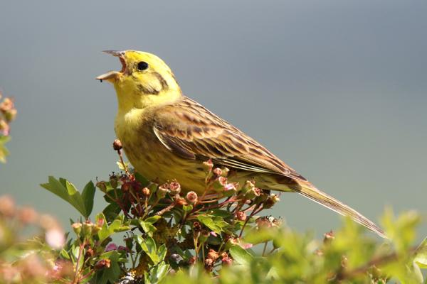 Yellowhammer by Andy Tew - May 30th, Martin Down