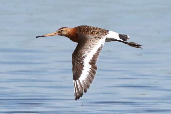 Black tailed Godwit by Andy Tew - Jul 5th, Pennington