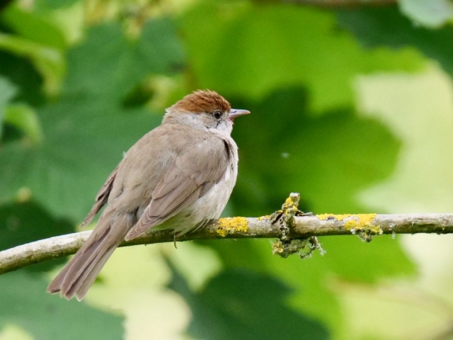 Blackcap by Rob Porter-July 22nd, Fishlake Meadows