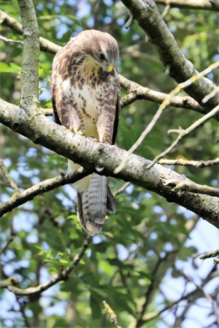 Buzzard by Brian Cartwright - Jul 23rd, Andover