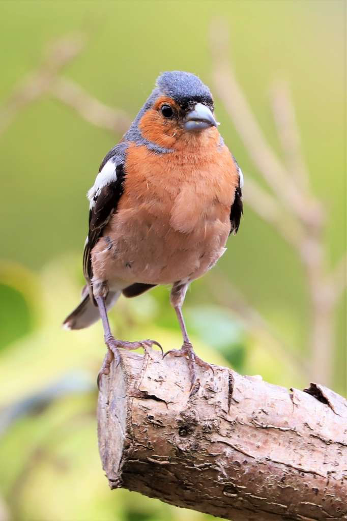 Chaffinch by Brian Cartwright - Jul 11th, Anton Lakes