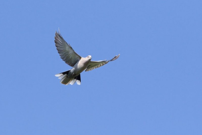 Collared Dove by Martin Bennett, Jun 29th, Furze Hill