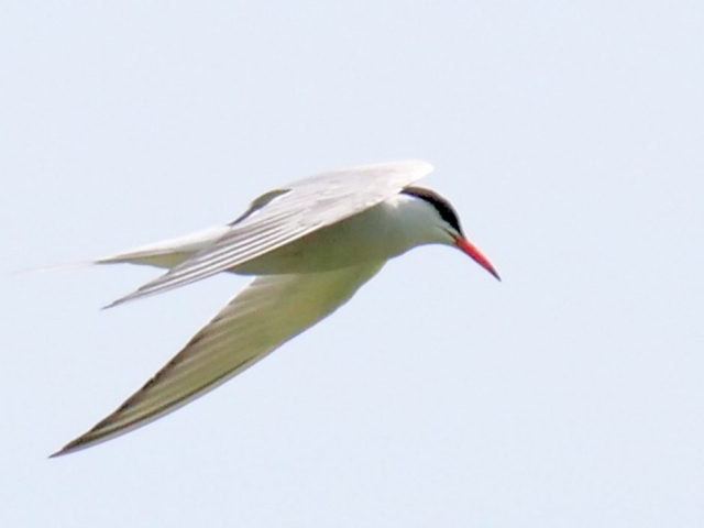 Common Tern by Rob Porter - July 8th, Lee, Nursling