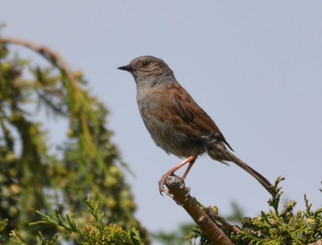 Dunnock by Dave Levy - Jul 8th, Basingstoke