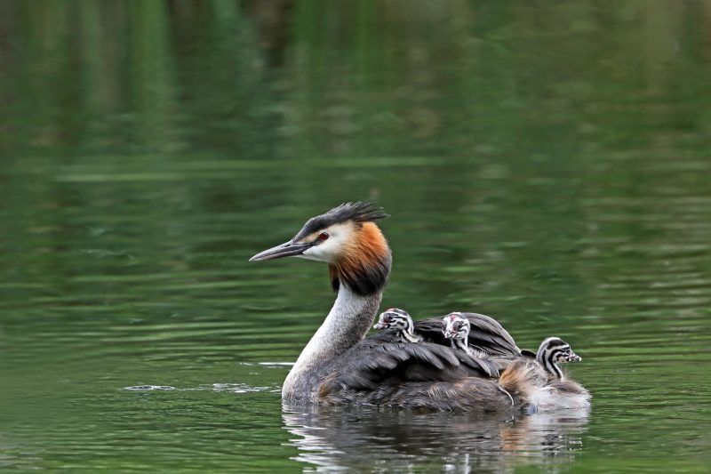 Great Crested Grebe by Richard Jacobs - Jun 30th, Timsbury