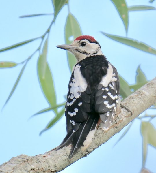 Great Spotted Woodpecker by Rob Porter - July 15th, Lower Test Marshes