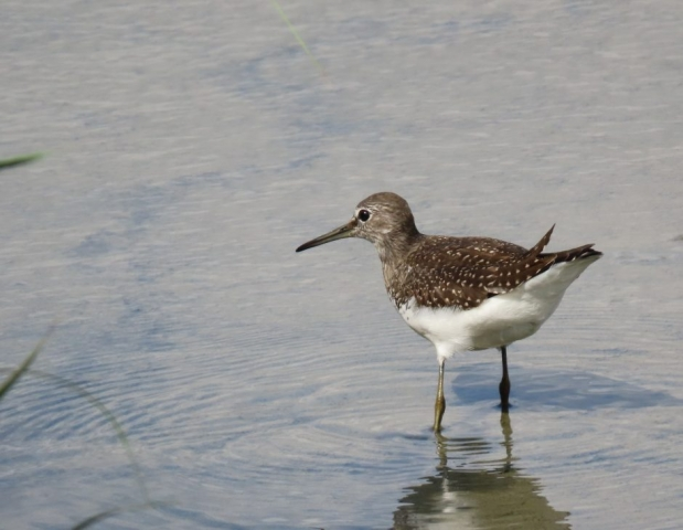 Green Sandpiper by John Shillitoe - Jul 31st, Titchfield Haven
