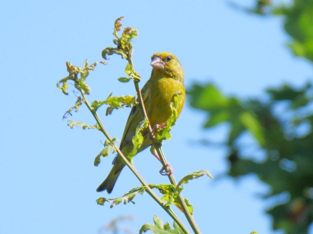 Greenfinch by Rob Porter - July 29th, Lower Test Marshes