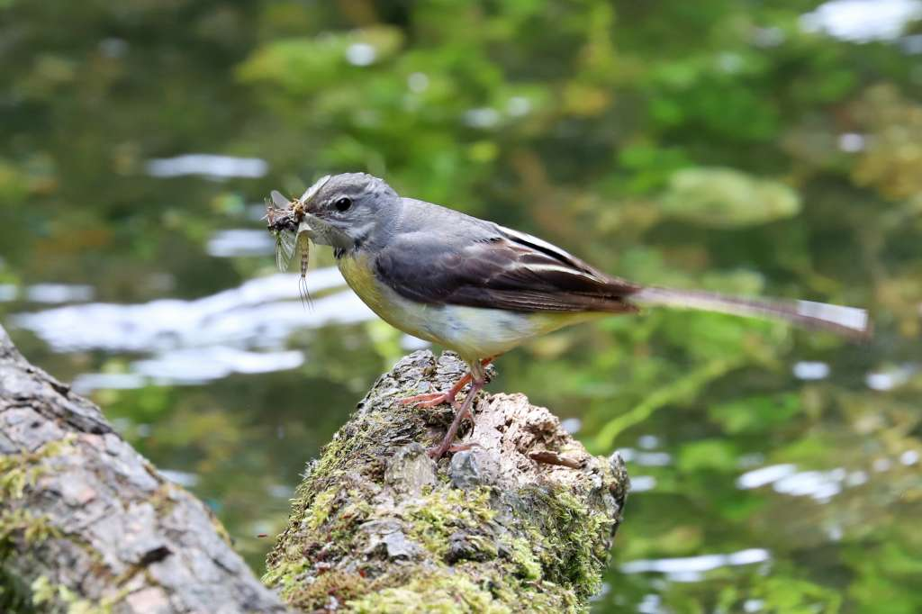 Grey Wagtail by Brian Cartwright, Jul 5th, Anton Lakes