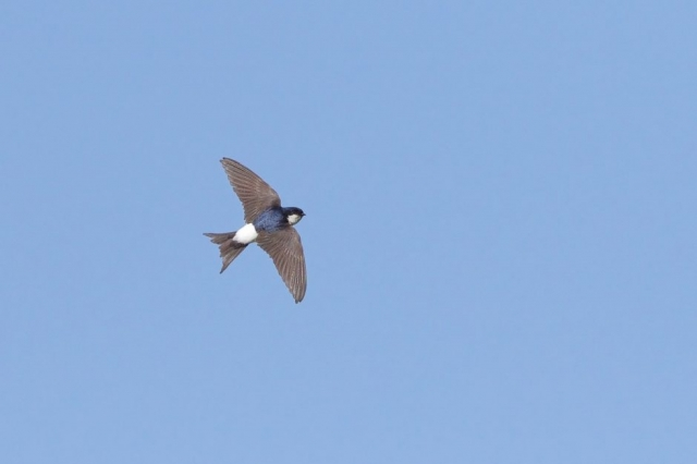 House Martin by Martin Bennett, Jun 29th, Furze Hill