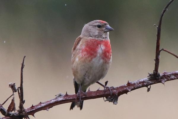 Linnet by Andy Tew - Jul 20th, Pennington Marshes