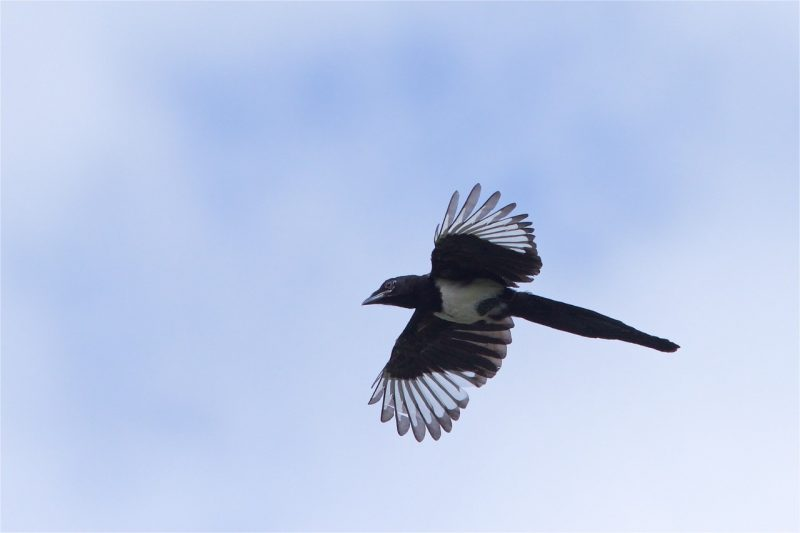 Magpie by Martin Bennett, Jul 2nd, Furze Hill