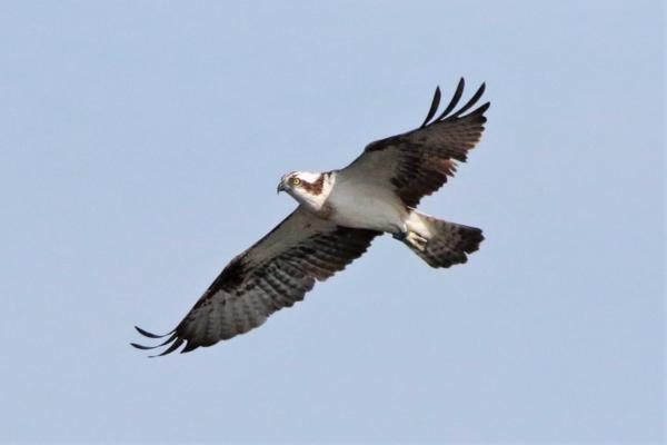 Osprey by Andy Tew - Jul 8th, Fishlake Meadows