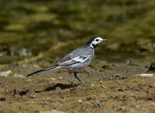 Pied Wagtail - by Dave Levy - Jul 29th, Edenbrook