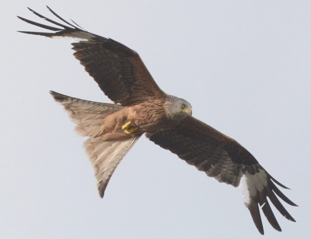 Red Kite by Dave Levy - Jul 10th, Basingstoke