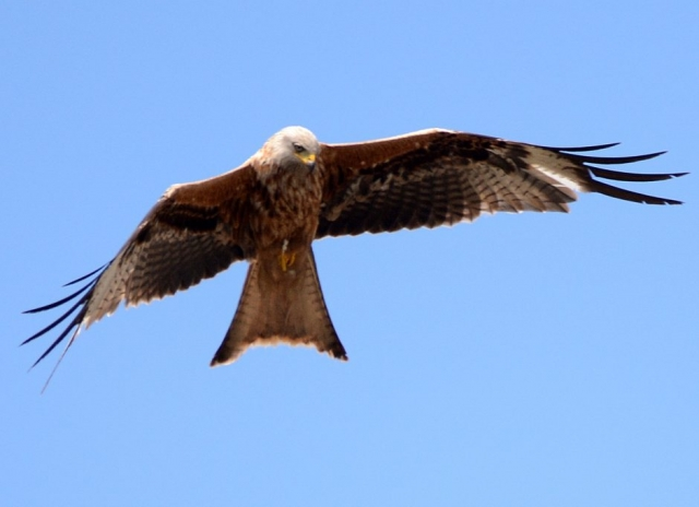 Red Kite by Dave Levy - Jun 30th, Basingstoke
