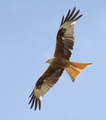 Red Kite by Rob Porter - July 8th, Lee (Nursling)