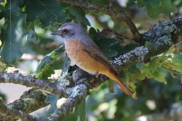 Redstart by Andy Tew - Jul 25th, Pig Bush NF