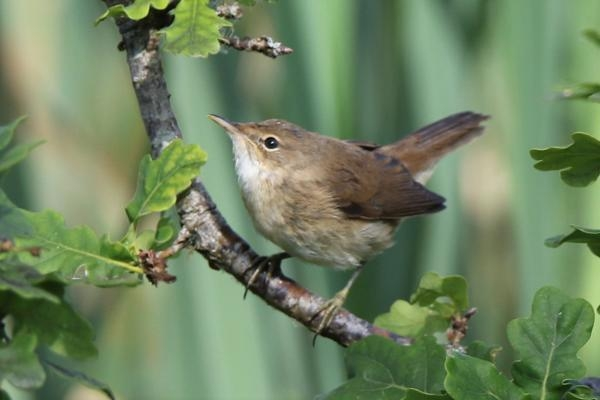 Reed Warbler by Andy Tew - Jul 8th, Fishlake Meadows