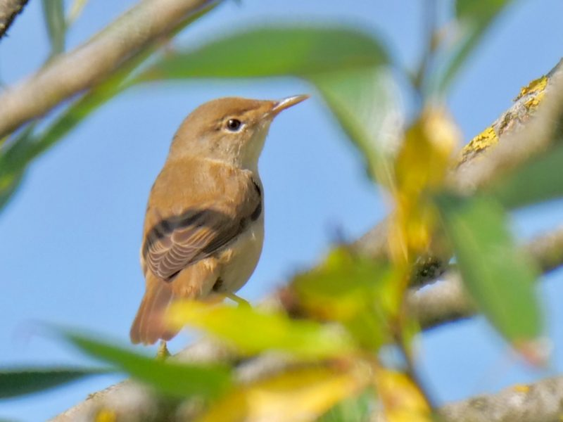 Reed Warbler by Rob Porter-July 11th, Lower Test Marshes