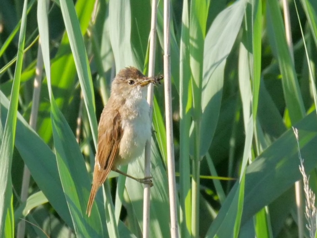 Reed Warbler by Rob Porter - July 3rd, Lower Test Marshes