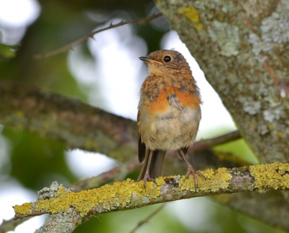 Robin by Dave Levy - Jun 30th, Silchester