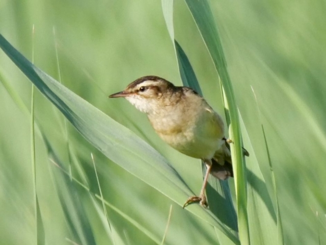 Sedge Warbler by Rob Porter-July 3rd, Lower Test Marshes