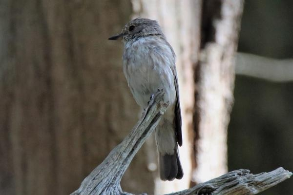 Spotted Flycatcher by Andy Tew - Jul 25th, Pig Bush NF