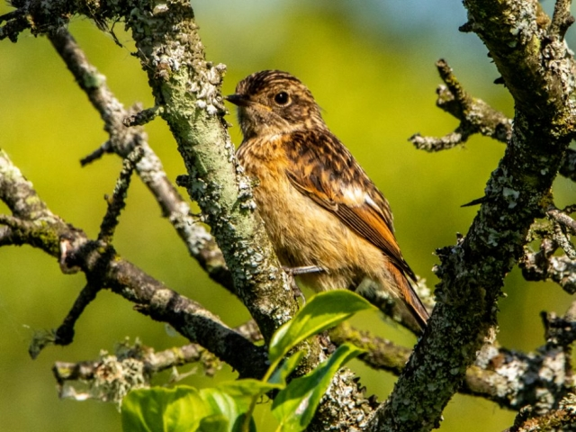 Stonechat by Mike Duffy - Jul 1st, Fishlake Meadows