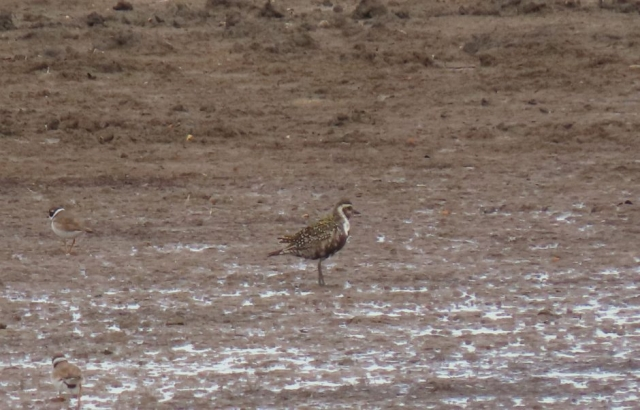 American Golden Plover by Clay Jones - Aug 13th, Keyhaven