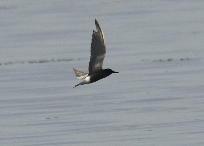 Black Tern by Dave Levy - Aug 27th, Warsash