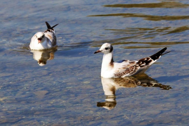 Black-headed Gull by Brian Cartwright - Aug 25th, Anton Lake