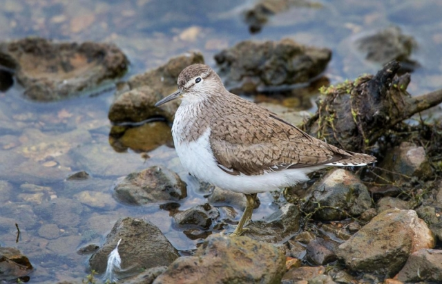 Common Sandpiper by John Wichall - Aug 8th, Titchfield Haven