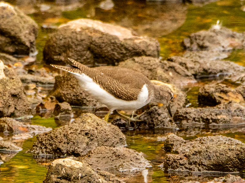 Common Sandpiper by Mike Duffy - Aug 8th, Blashford Lakes