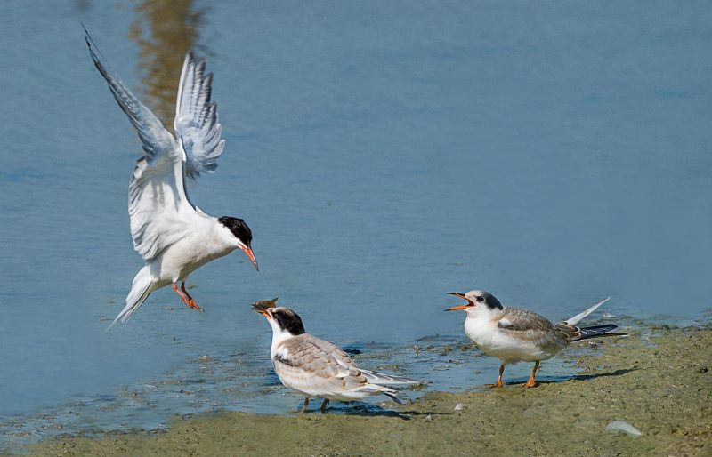 Common Tern by John Wichall - Aug 8th, Titchfield Haven
