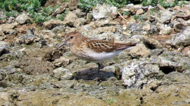 Dunlin by Graham Davies - Jul 31st, Titchfield Haven