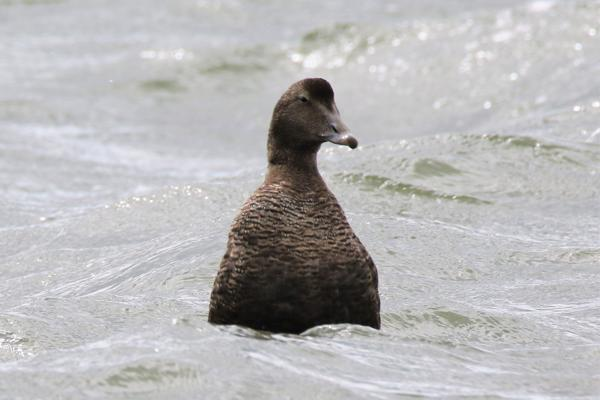 Eider by Andy Tew - Jul 31st, Pennington