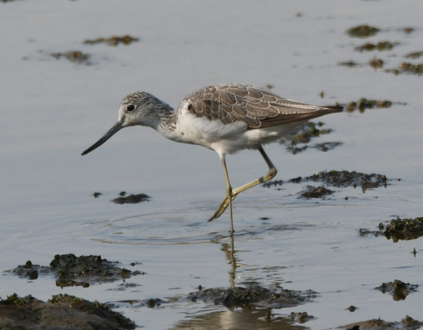Greenshank by Dave Levy - Aug 27th, Warsash