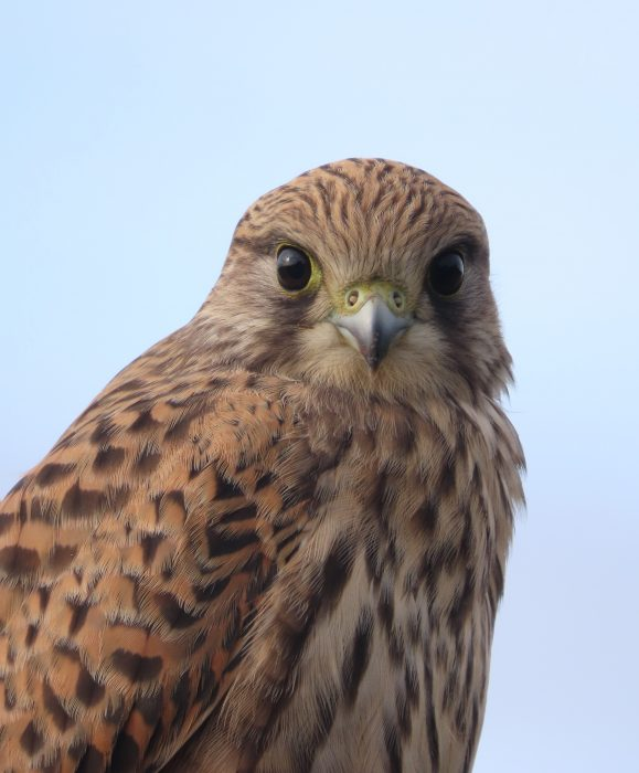 Kestrel by Kay Shillitoe - Aug 8th, Old Winchester Hill