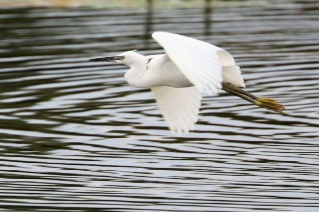 Little Egret by Brian Cartwright - Aug 2nd, Anton Lakes