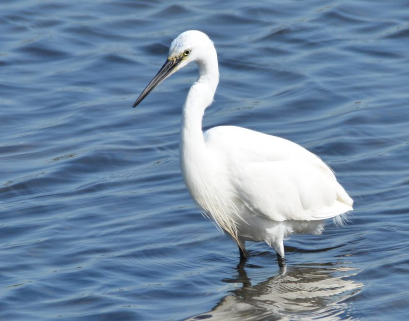 Little Egret by Dave Levy - Aug 13th, Titchfield Haven