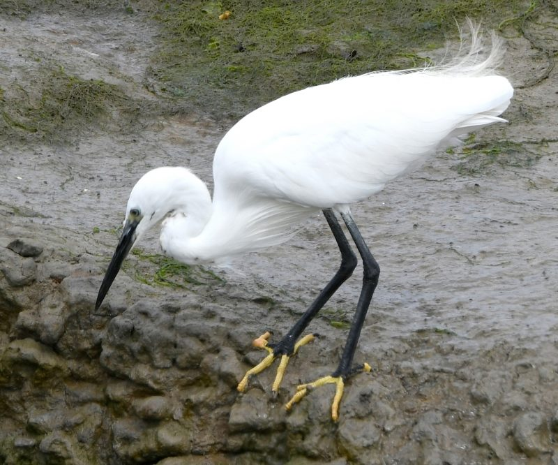Little Egret by Dave Levy - Aug 27th, Warsash