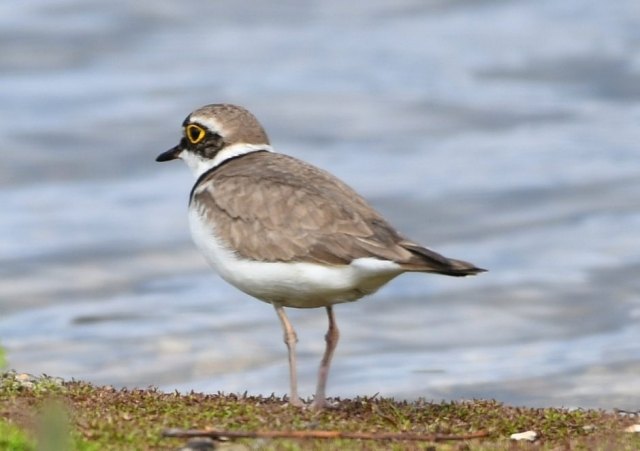 Little Ringed Plover by Dave Levy - Aug 13th, Titchfield Haven