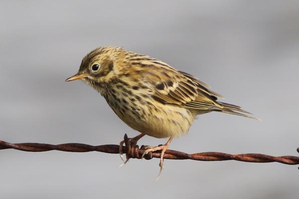 Meadow Pipit by Andy Tew - Aug 19th, Pennington Marshes