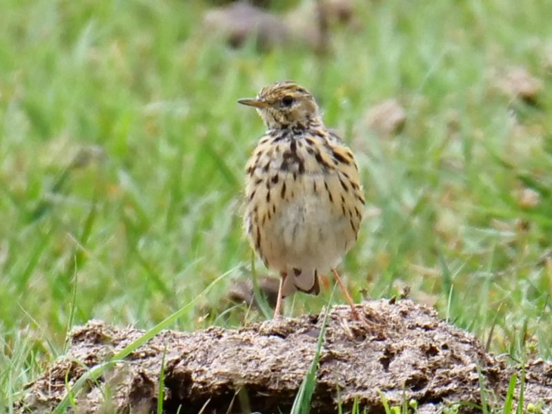 Meadow Pipit by Rob Porter-August 8th, Pig Bush, N.F.