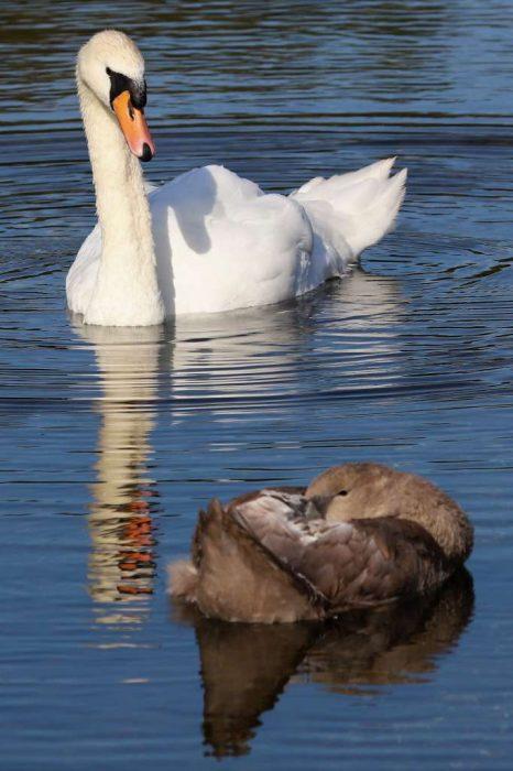Mute Swan by Brain Cartwright - Aug 12th, Anton Lake