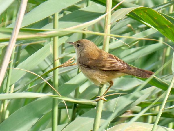 Reed Warbler by Rob Porter - Aug 11th, Lower Test Marshes