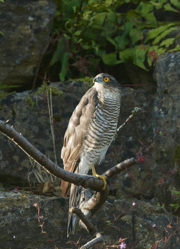 Sparrowhawk by Martin Bennett, Aug 19th, Furze Hill