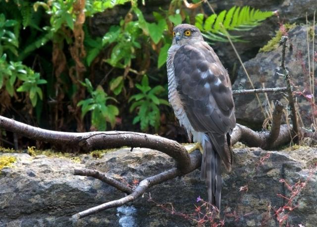 Sparrowhawk by Martin Bennett - Aug 1st, Furze Hill