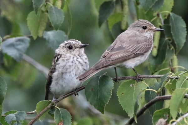 Spotted Flycatcher by Andy Tew - Aug 28th, Emer Bog